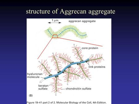 Structure of Aggrecan aggregate. Collagen fibril embedded in proteoglycan molecules.