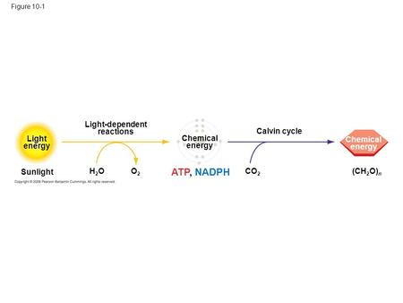 Figure 10-1 Light energy Sunlight H2OH2OO2O2 Light-dependent reactions ATP, NADPH Chemical energy CO 2 Calvin cycle (CH 2 O) n Chemical energy.