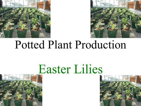 Potted Plant Production Easter Lilies. Introduction Lilium longiflorum Native to Islands south of Japan Introduced to England in 1819 Bulb production.