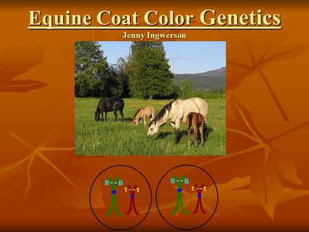 Equine Coat Color Genetics Jenny Ingwerson. Basic Principles  32 pairs of chromosomes  Genes control expression of traits and are located along chromosome.