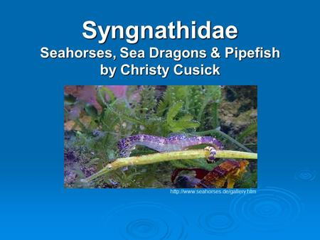 Syngnathidae Seahorses, Sea Dragons & Pipefish by Christy Cusick
