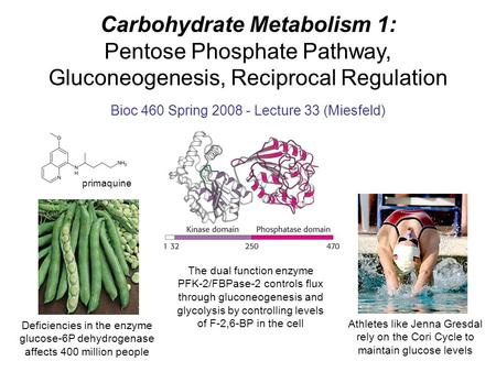 Carbohydrate Metabolism 1: Pentose Phosphate Pathway, Gluconeogenesis, Reciprocal Regulation Bioc 460 Spring 2008 - Lecture 33 (Miesfeld) Athletes like.