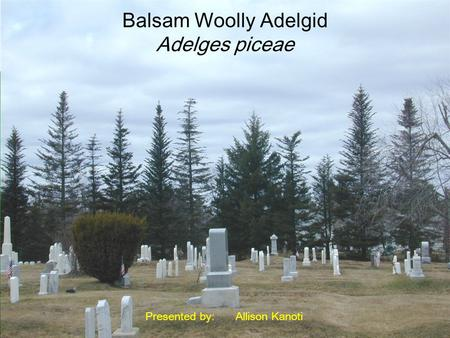 Balsam Woolly Adelgid Adelges piceae Presented by:Allison Kanoti.
