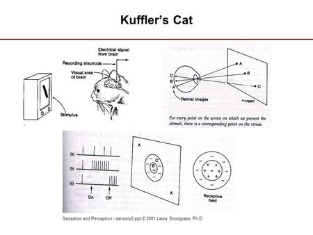 Sensation and Perception - sensory2.ppt © 2001 Laura Snodgrass, Ph.D. Kuffler's Cat.