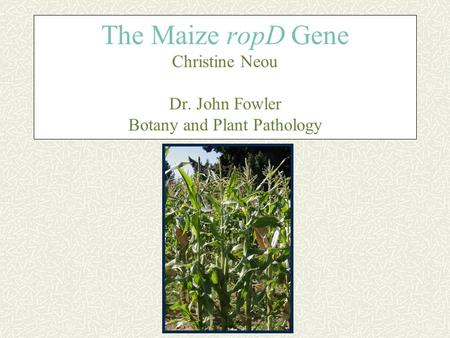 The Maize ropD Gene Christine Neou Dr. John Fowler Botany and Plant Pathology.