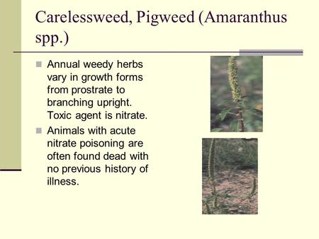 Carelessweed, Pigweed (Amaranthus spp.) Annual weedy herbs vary in growth forms from prostrate to branching upright. Toxic agent is nitrate. Animals with.