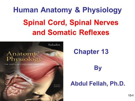 13-1 Human Anatomy & Physiology Spinal Cord, Spinal Nerves and Somatic Reflexes Chapter 13 By Abdul Fellah, Ph.D.