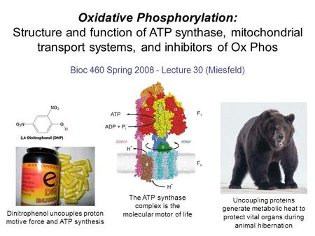 Oxidative Phosphorylation: Structure and function of ATP synthase, mitochondrial transport systems, and inhibitors of Ox Phos Bioc 460 Spring 2008 - Lecture.