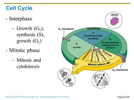 Copyright © 2006 Pearson Education, Inc., publishing as Benjamin Cummings Figure 3.30 Cell Cycle  Interphase  Growth (G 1 ), synthesis (S), growth (G.