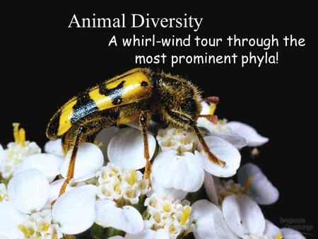 Animal Diversity A whirl-wind tour through the most prominent phyla!