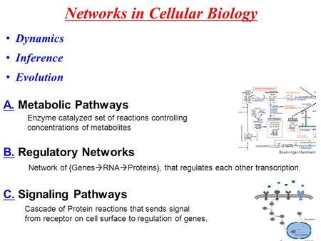 Networks in Cellular Biology A. Metabolic Pathways Boehringer-Mannheim Enzyme catalyzed set of reactions controlling concentrations of metabolites B. Regulatory.