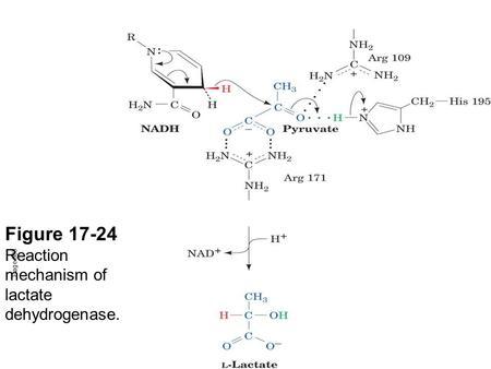 figure reaction mechanism of lactate dehydrogenase. via accompan, Skeleton