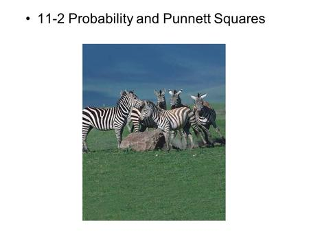 11-2 Probability and Punnett Squares. –How do geneticists use the principles of probability? Genetics and Probability.