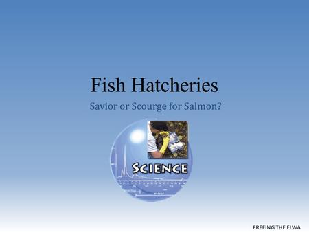 Fish Hatcheries Savior or Scourge for Salmon?. How Hatcheries Work.