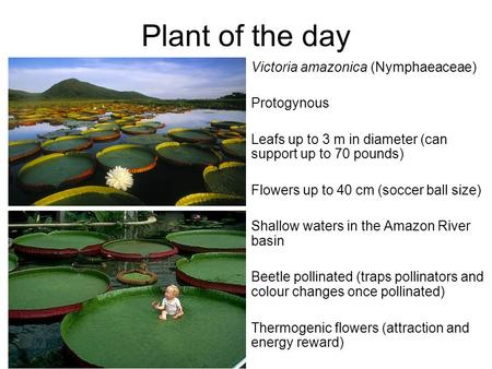 Plant of the day Victoria amazonica (Nymphaeaceae) Protogynous