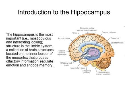 Introduction to the Hippocampus The hippocampus is the most important (i.e., most obvious and interesting looking) structure in the limbic system, a collection.