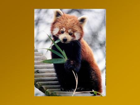 Red Panda Ailurus fulgens; also called the Firefox or Lesser Panda a small arboreal mammal Slightly larger than a domestic cat, it has reddish-brown fur,