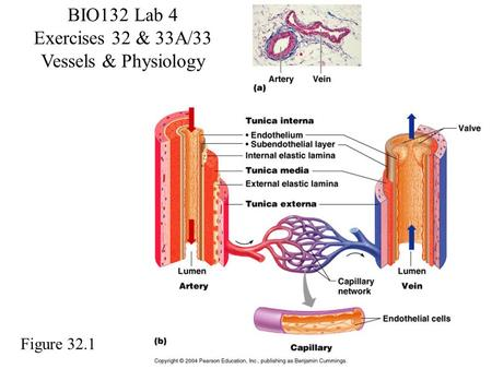 BIO132 Lab 4 Exercises 32 & 33A/33 Vessels & Physiology Figure 32.1.