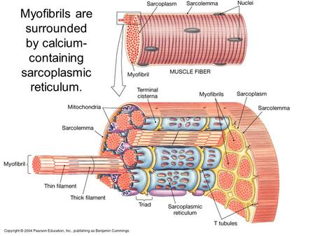 Myofibrils are surrounded by calcium- containing sarcoplasmic reticulum.