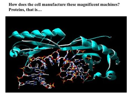 How does the cell manufacture these magnificent machines? Proteins, that is…
