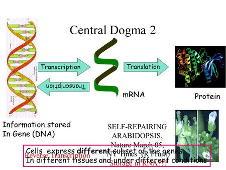 Central Dogma 2 Transcription mRNA Information stored In Gene (DNA) Translation Protein Transcription Reverse Transcription SELF-REPAIRING ARABIDOPSIS,