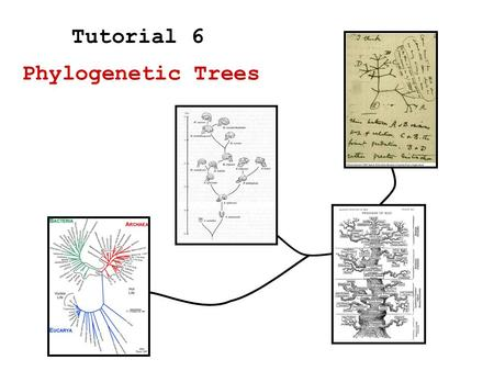 Phylogenetic Trees Tutorial 6. Measuring distance Bottom-up algorithm (Neighbor Joining) –Distance based algorithm –Relative distance based Phylogenetic.