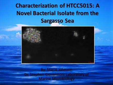Characterization of HTCC5015: A Novel Bacterial Isolate from the Sargasso Sea By: Marie Johnson Dr. Stephen Giovannoni Laboratory of Marine Microbiology.