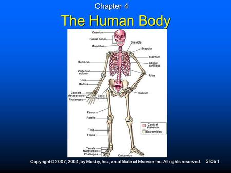 Slide 1 Copyright © 2007, 2004, by Mosby, Inc., an affiliate of Elsevier Inc. All rights reserved. The Human Body Chapter 4.