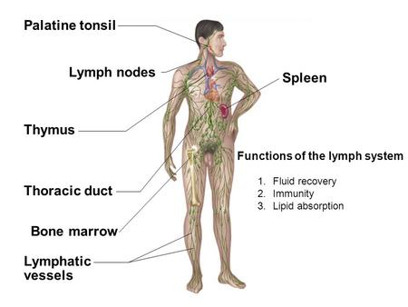 Fig. 22.1(TE Art) Spleen Thymus Thoracic duct Lymphatic vessels Palatine tonsil Bone marrow Lymph nodes Functions of the lymph system 1.Fluid recovery.