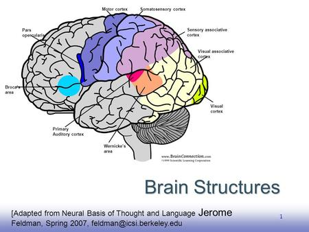 EE141 1 Brain Structures [Adapted from Neural Basis of Thought and Language Jerome Feldman, Spring 2007, Broca's area Pars opercularis.