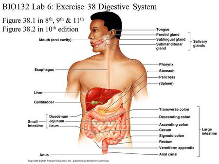 BIO132 Lab 6: Exercise 38 Digestive System