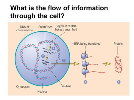 What is the flow of information through the cell?.