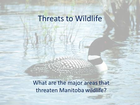 Threats to Wildlife What are the major areas that threaten Manitoba wildlife?