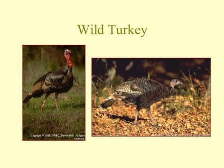 Wild Turkey. Dusky Grouse Spruce Grouse Greater Sage-Grouse.