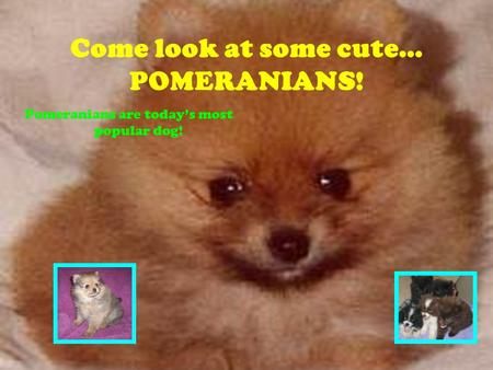 Come look at some cute… POMERANIANS! Pomeranians are today's most popular dog!