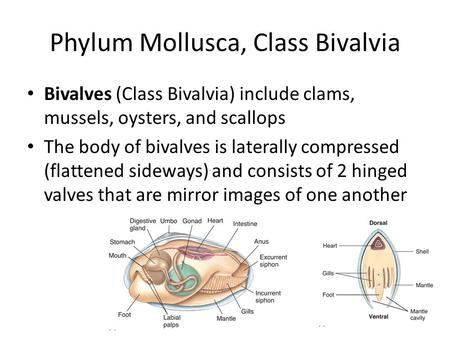 Phylum Mollusca, Class Bivalvia Bivalves (Class Bivalvia) include clams, mussels, oysters, and scallops The body of bivalves is laterally compressed (flattened.