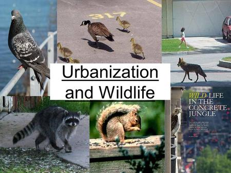 Urbanization <strong>and</strong> <strong>Wildlife</strong>. Why do we care about urbanization? Globally –Roughly 39-50% <strong>of</strong> land has been converted to human uses –The world ' s urban population.
