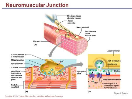 Copyright © 2004 Pearson Education, Inc., publishing as Benjamin Cummings Neuromuscular Junction Figure 9.7 (a-c)