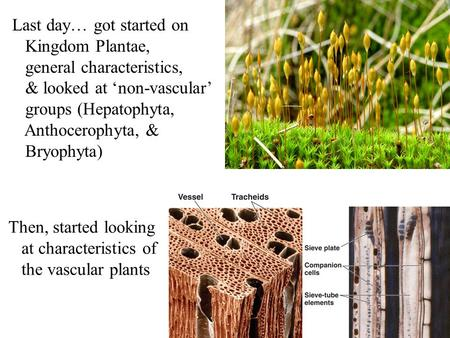 Last day… got started on Kingdom Plantae, general characteristics, & looked at 'non-vascular' groups (Hepatophyta, Anthocerophyta, & Bryophyta) Then, started.