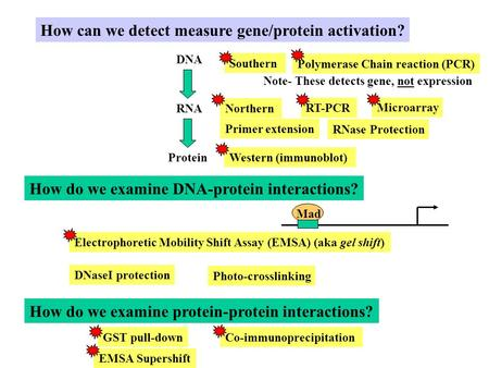 How can we detect measure gene/protein activation? DNA RNA Protein Northern Western (immunoblot) RNase Protection How do we examine DNA-protein interactions?