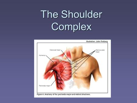 The Shoulder Complex. Muscles of the AC Joint Chapter 4.