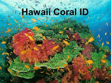 Hawaii Coral ID. Phylum Cnideria Class Hydrozoa-hydroids Class Scyphozoa- jellyfish Class Cubozoa- box jellies and sea wasps Class Anthozoa Subclass Hexacorallia-