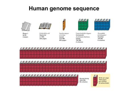 Human genome sequence. DNA = DEOXYRIBONUCLEIC ACID RNA = RIBONUCLEIC ACID Strong acid hydrolyses DNA & RNA into 3 components: nitrogenous base (4 different.