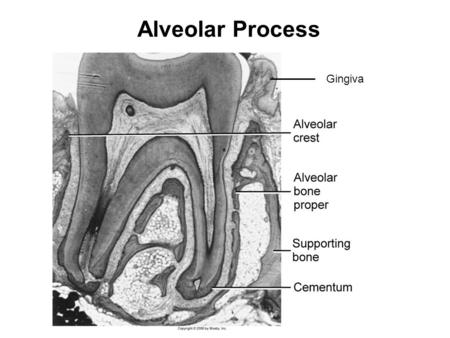 Alveolar Process Gingiva. Near the end of the 2nd month of fetal life, mandible and maxilla form a groove that is opened toward the surface of the oral.