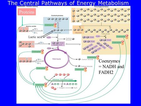 The Central Pathways of Energy Metabolism Proteins Coenzymes = NADH and FADH2 Lactic acid.