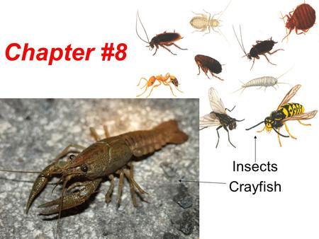 Chapter #8 Insects Crayfish.
