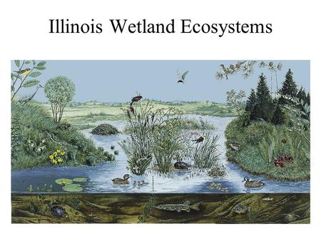 Illinois Wetland Ecosystems. Wetland Plant Types.