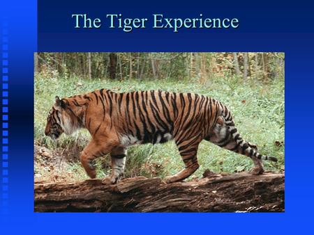 The Tiger Experience. The Tiger Experience by Alain Fournier The story so far: A large tiger walks alone through the dense mid-day jungle. His steps spring.