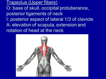 Trapezius (Upper fibers) O: base of skull, occipital protuberance, posterior ligaments of neck I: posterior aspect of lateral 1/3 of clavicle A: elevation.