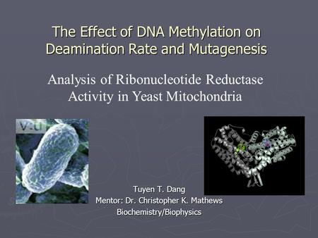 The Effect of DNA Methylation on Deamination Rate and Mutagenesis Tuyen T. Dang Mentor: Dr. Christopher K. Mathews Biochemistry/Biophysics Analysis of.
